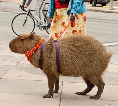 exotic pet, capybaras
